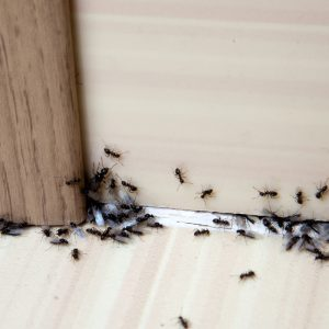 Come Eliminare le formiche?